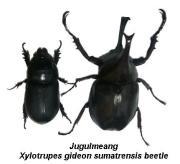 Xylotrupes gideon sumatrensis beetle
